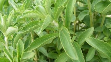Stevia dolcificante naturale? L'UE da' l'ok
