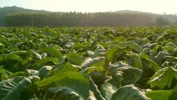 Sconfiggere l'Hiv con il tabacco: il progetto Pharma-Planta