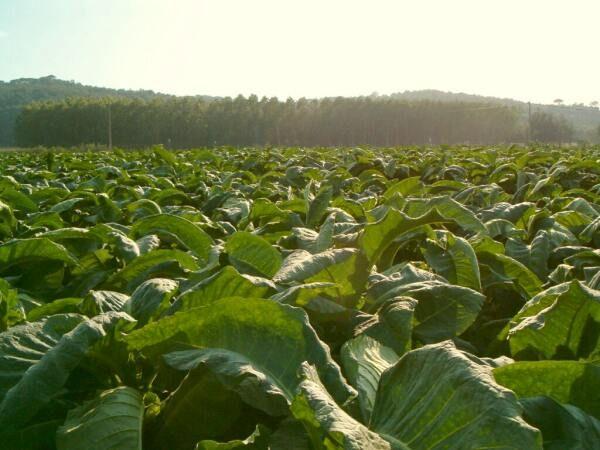 wpid-10391_tabacco.jpg