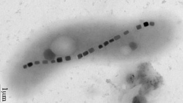 """Identificato un nuovo """"batterio magnetico"""""""