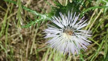 Chimica verde e agricoltura: la 'via sarda' del cardo