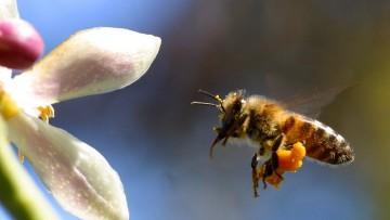 Moria delle api, Greenpeace contro i neonicotinoiti
