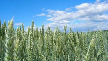 Come l'aumento della CO2 nell'aria influenza la qualita' del frumento duro
