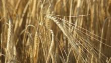 La Sapienza: una ricerca contro il fungo nemico della pasta