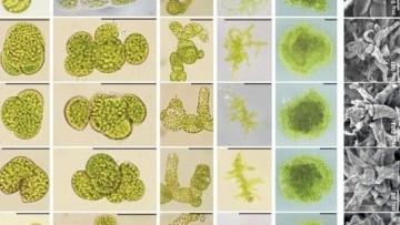 I MicroRNAs modulano la trascrizione agendo direttamente sui geni