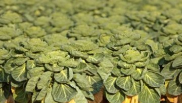 Dai broccoli il sulforafano contro il cancro