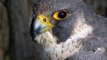 Residui chimici nelle uova di falco pellegrino
