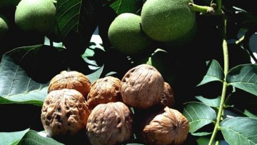 Uva e noci: cibi anti-radiazioni