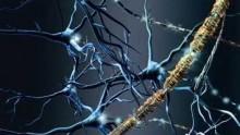 Scoperto il meccanismo di formazione della mielina
