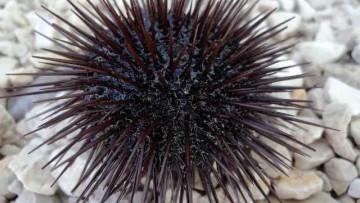 Nanoparticelle metalliche in mare: lo studio parte dal riccio di mare