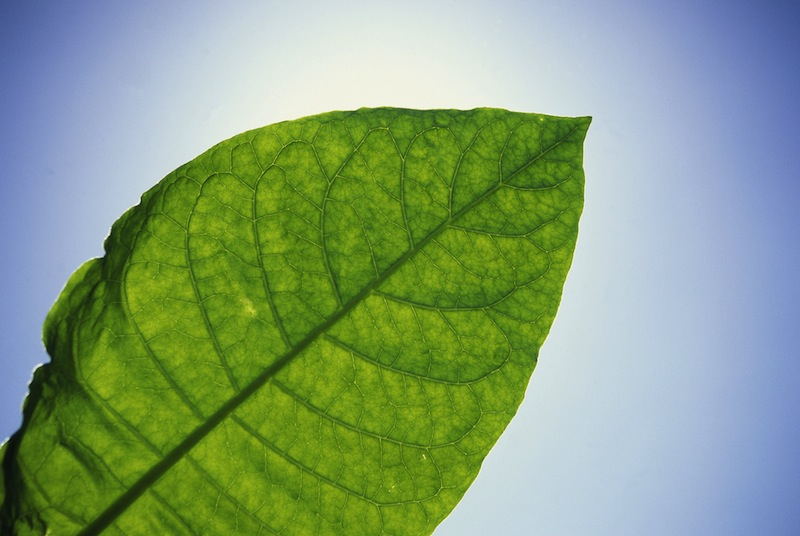 pianta_tabacco_ThinkstockPhotos